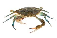 Błękitny krab odizolowywający na białym tle Obraz Royalty Free