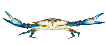 Błękitny krab odizolowywający na białym tle Fotografia Royalty Free