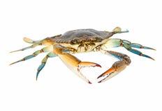 Błękitny krab, studio strzał Fotografia Royalty Free