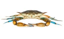 Błękitny krab z białym tłem Obrazy Royalty Free