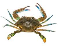 Błękitny krab z białym tłem Obrazy Stock