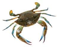 Błękitny krab z białym tłem Odgórny widok Zdjęcia Royalty Free