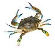 Błękitny krab z białym tłem Odgórny widok Zdjęcia Stock
