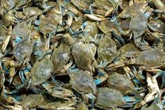 błękitny kraby Obraz Stock