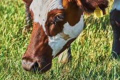 błękitny krowy krów zmroku krajobrazu paśnika wiejski nieba lato Obraz Stock