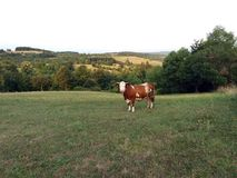 błękitny krowy krów zmroku krajobrazu paśnika wiejski nieba lato Zdjęcia Stock