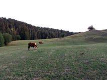 błękitny krowy krów zmroku krajobrazu paśnika wiejski nieba lato Obraz Royalty Free