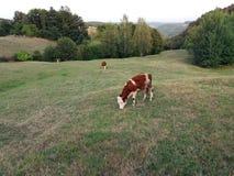 błękitny krowy krów zmroku krajobrazu paśnika wiejski nieba lato Zdjęcie Royalty Free