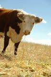 błękitny krowy pola hereford niebo Zdjęcie Royalty Free