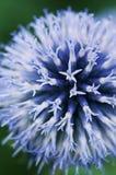 błękitny kuli ziemskiej macro oset Obraz Royalty Free