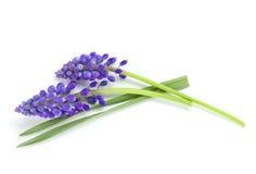 błękitny kwiatów hiacyntu lying on the beach Obraz Royalty Free