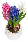 błękitny kwiatów hiacyntu menchii biel Zdjęcia Stock