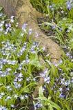 błękitny kwiatów korzeniowy drzewo Obraz Royalty Free