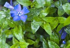 błękitny kwiat Fotografia Royalty Free
