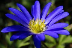 błękitny kwiat obraz royalty free