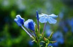 Błękitny kwiat Zdjęcia Stock