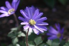 Błękitny kwiat: anemon w wczesnej wiośnie obrazy royalty free