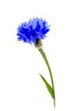 błękitny kwiat jeden Obraz Royalty Free