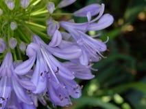 błękitny kwiat jest agapanthus Zdjęcie Royalty Free