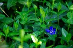 Błękitny kwiat między zielonymi liśćmi Obrazy Royalty Free
