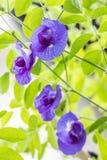 Błękitny kwiat, Motyli groch Zdjęcie Stock