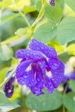 Błękitny kwiat, Motyli groch Fotografia Royalty Free