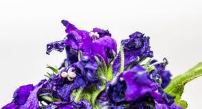 Błękitny kwiat na białym odosobnionym tle obrazy royalty free