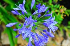 Błękitny kwiat w Nowa Zelandia ogródzie Fotografia Stock