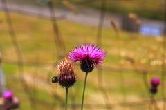 Błękitny kwiat z szpilki na lato zieleni łące fotografia royalty free