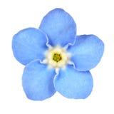błękitny kwiat zapomina ja nie biały odosobniony Obrazy Stock