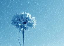 błękitny kwiatek śnieg zdjęcie stock