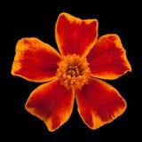 błękitny kwiatek głowy nagietek złota Obrazy Stock