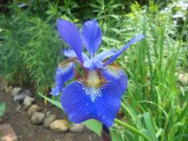 błękitny kwiatek tęczówki fotografia royalty free