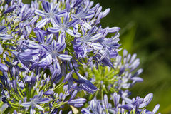 Błękitny kwiatonośny agapant w ogródzie Zdjęcie Royalty Free