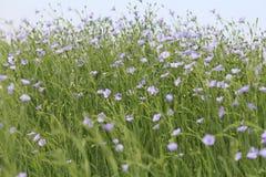 Błękitny kwiatonośny len zasadza falowanie w polach obrazy stock