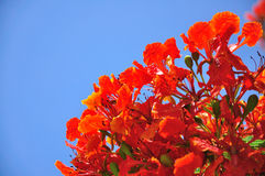 błękitny kwiatu czerwieni niebo Obrazy Royalty Free