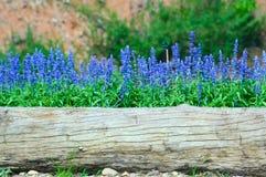 Błękitny kwiatu dorośnięcie na starym drzewnym fiszorku Fotografia Royalty Free