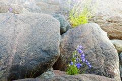 Błękitny kwiatu dorośnięcie w krekingowych kamieniach Zdjęcie Royalty Free