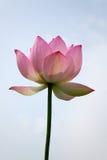 błękitny kwiatu lotosowy niebo Fotografia Stock