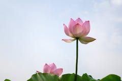 błękitny kwiatu lotosowy niebo Fotografia Royalty Free