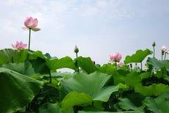 błękitny kwiatu lotosowy niebo Zdjęcia Stock