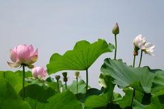 błękitny kwiatu lotosowy niebo Obraz Royalty Free