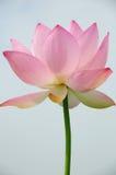 błękitny kwiatu lotosowy niebo Zdjęcia Royalty Free