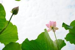 błękitny kwiatu lotosowy niebo Zdjęcie Stock