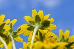 błękitny kwiatu mały nieba gwiazdy kolor żółty Zdjęcie Royalty Free