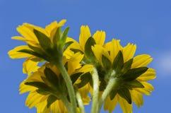 błękitny kwiatu mały nieba gwiazdy kolor żółty Zdjęcie Stock
