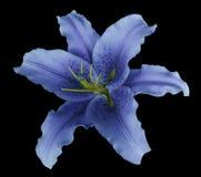 Błękitny leluja kwiat na czarnym odosobnionym tle z ścinek ścieżką żadny cienie Dla projekta, tekstura, granicy, rama, backgrou Fotografia Royalty Free