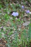 Błękitny len (Linum narbonense) zdjęcia stock