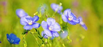 Błękitny len w polanie Zdjęcia Stock