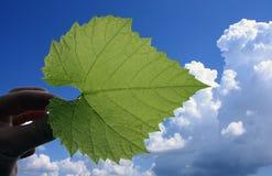 błękitny liść nieba winograd Zdjęcie Stock